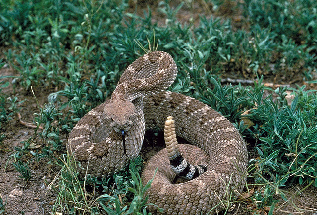 A snake sits coiled in the grass.