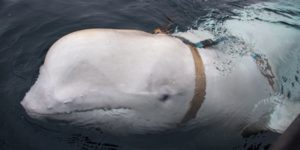 Probable Russian Navy covert camera whale discovered by Norwegians