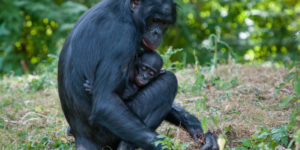 "Genes from an extinct ""ghost ape"" live on in modern bonobos"