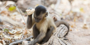 Capuchin monkeys have a 3,000-year archaeological record