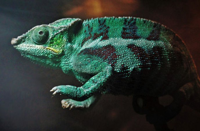 Photo of a green chameleon.