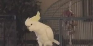 Snowball the dancing cockatoo has wide range of killer moves, new study finds